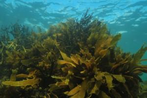 Algen in Seife