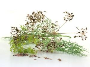 Dill mit Samen
