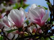 Magnolienblüte ätherisches Öl