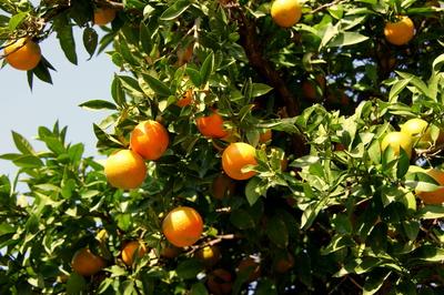 Das ätherische Öl der Mandarine
