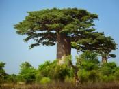 Baobaböl in Kosmetik