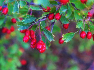 Cranberry-Öl
