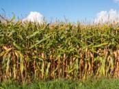 Maiskeimöl in Naturkosmetik